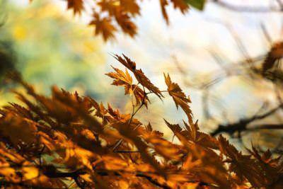 опадают кленовые листья
